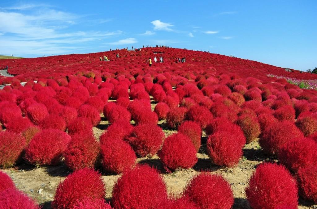Arbustos rojos en el Parque Costero de Hitachi
