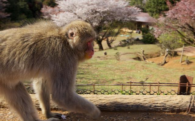 Imagen de un mono en el parque de los monos de Iwatayama